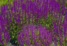 An expanse  of purple sage flowers Stock Images