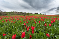 Expanse of red tulips Royalty Free Stock Images