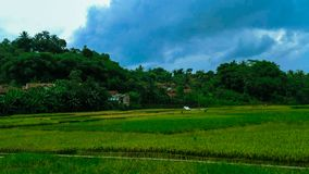Beautiful of rice fields and greenery extends. stock photo