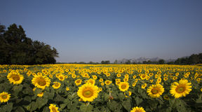 Expansion field of sunflowers Stock Photos