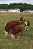 Expansion urbaine : Maisons contre des vaches Images stock
