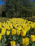 Expansive flowerbed of yellow tulips royalty free stock photography