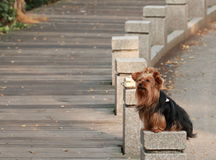 Expect. A dog squatting silently in the street, waiting for his master Stock Photo