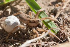 Expectant mother. Hogna is a genus of wolf spiders with more than 200 described species. It is found on all continents except Antarctica Royalty Free Stock Photo