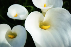 Expectation. Cala Lilies bursting forth in expectation of warmer weather ahead royalty free stock photo