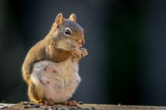 Expecting American Red Squirrel appears to be smiling as she enjoys a snack. Expecting American Red Squirrel Tamiasciurus hudsonicus appears to be smiling as she Royalty Free Stock Image