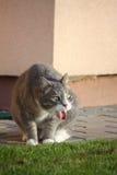 Expectoración gris del gato en la hierba Imágenes de archivo libres de regalías