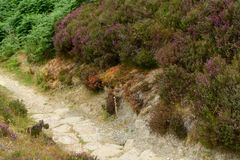 Around the city of Scarborough in the UK. Expedition in the nearby surroundings in a small area beautifully covered with heather, grazing sheep, clumps of green stock image