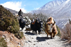 Expedition yaks on the way Stock Images