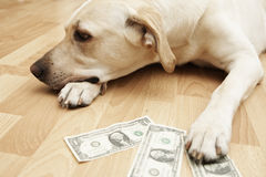 Expensive dog Stock Photography