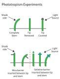 Experiências que demonstram o phototropism nas plantas Fotografia de Stock