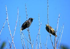 An experienced adult male teaches a young chick to the art of singing. The starlings. An experienced adult male teaches a young chick to the art of singing Stock Photography