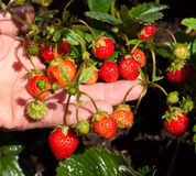 An experienced gardener showing a bunch of fresh strawberries. In her hands stock images