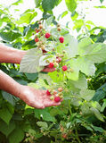 An experienced gardener showing a bunch of raspberrys. On a branch royalty free stock photo