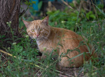 Experienced homeless ginger cat Royalty Free Stock Photos