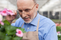 Experienced old florist in process of his work Royalty Free Stock Photos