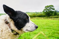 Wise old Sheep Dog in Welsh Countryside stock photography
