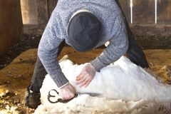 Venerable sheep shearer using hand tools in a Connecticut barn. Experienced, professional  sheep shearer manually  shearing a ewe with steel bladed shears at a stock photos