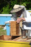 Experienced senior apiarist cutting out piece of larva honeycomb in apiary Royalty Free Stock Photography