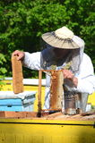 Experienced senior apiarist cutting out piece of larva honeycomb in apiary. In the springtime Royalty Free Stock Photos
