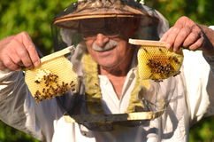 Experienced senior beekeeper holding honeycombs from small wedding beehive Stock Photos