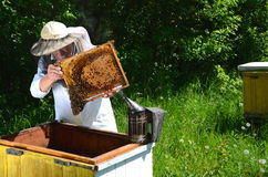 Experienced senior beekeeper making inspection in apiary Stock Image