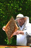 Experienced senior beekeeper making inspection in apiary Royalty Free Stock Photography