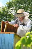 Experienced senior beekeeper putting empty honeycomb frames into a beehive in his apiary Stock Photography