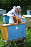 Experienced senior beekeeper putting empty honeycomb frames into a beehive in his apiary Royalty Free Stock Photos