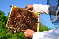 Experienced senior beekeeper working in his apiary. In the springtime royalty free stock photos
