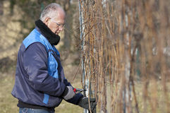 Experienced Vintner is pruning in the vineyard. Experienced Vintner pruning wine grapes in the vineyard stock photography