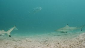 Experiencing the ocean adventure. A moving underwater shot showcasing the free big fish on the ocean floor stock video