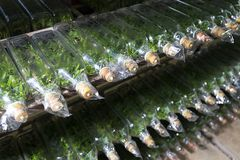experiment av cellen för växt för kultur för växtsilkespapper i teknologin Royaltyfri Bild