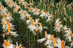 Experiment garden, yellow maize, Vietnam, agriculture, corn Stock Photography