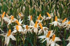 Experiment garden, yellow maize, Vietnam, agriculture, corn Stock Image
