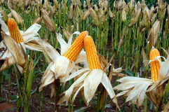 Experiment garden, yellow maize, Vietnam, agriculture, corn Stock Images