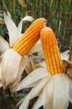 Experiment garden, yellow maize, Vietnam, agriculture, corn Royalty Free Stock Photos