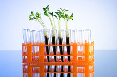 Experiment with green seedlings Stock Images