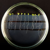 Experimental plants. In petri dishes Royalty Free Stock Images