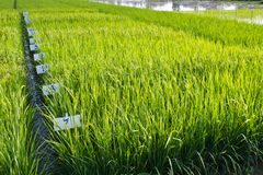Experimental rice farm Stock Images
