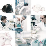 Experimental work with mice Stock Photography