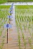 Experimenteel rijstlandbouwbedrijf royalty-vrije stock foto's