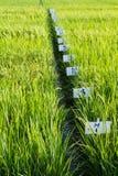 Experimenteel rijstlandbouwbedrijf stock fotografie