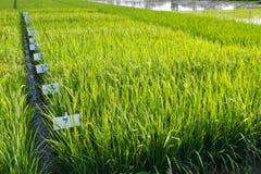 Experimenteel rijstlandbouwbedrijf stock afbeeldingen