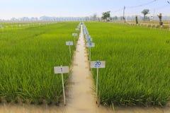 Experimentell ricelantgård Arkivbilder