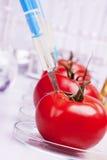 experimentera tomater royaltyfria foton