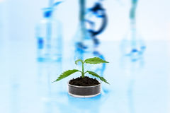 Experimenting with flora in laboratory. Royalty Free Stock Images