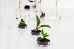 Experimenting with flora in laboratory. Seedlings in lab. See my other works in portfolio Stock Photos
