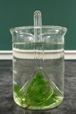 Experimento del laboratorio: observación del fenómeno de la respiración del cabomba de la planta acuática Imagen de archivo