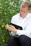 Expert controlling tomatoes condition Royalty Free Stock Images